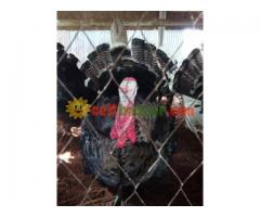 Turkey sale at jhenidah