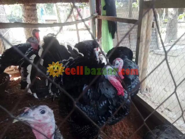 Turkey sale at jhenidah - 4/4