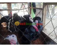 Turkey sale at jhenidah - Image 4/4
