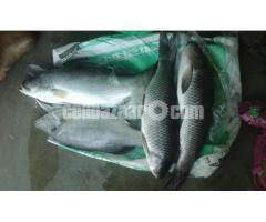 Vatki Fish Pure Deshi