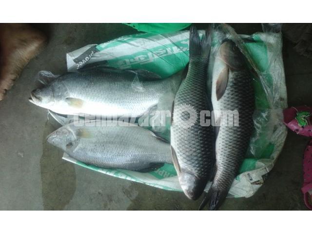 Vatki Fish Pure Deshi - 2/2