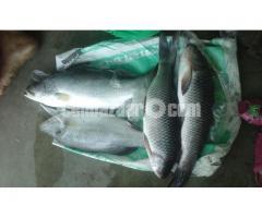 Vatki Fish Pure Deshi - Image 2/2