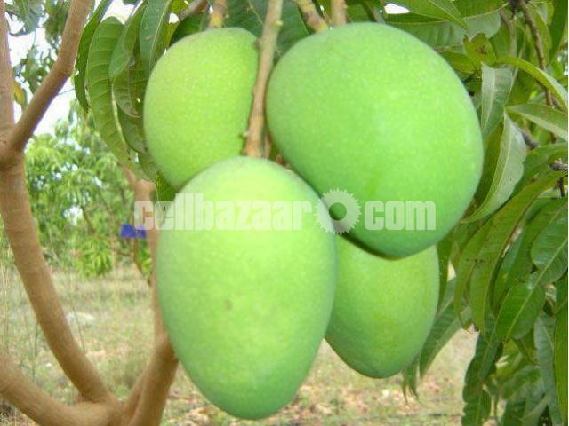 Mango of Rajshahi and Chapainawabgong - 2/5