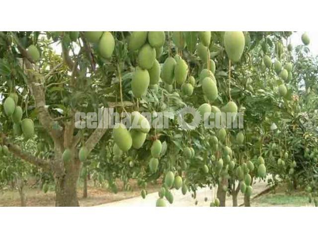 Mango of Rajshahi and Chapainawabgong - 4/5