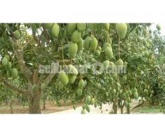 Mango of Rajshahi and Chapainawabgong - Image 4/5