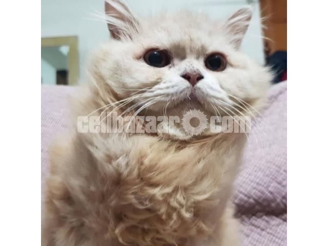 Persian Cat - 1/3