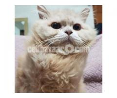 Persian Cat - Image 1/3