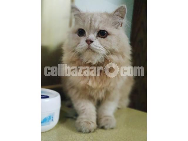 Persian Cat - 2/3