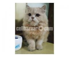 Persian Cat - Image 2/3