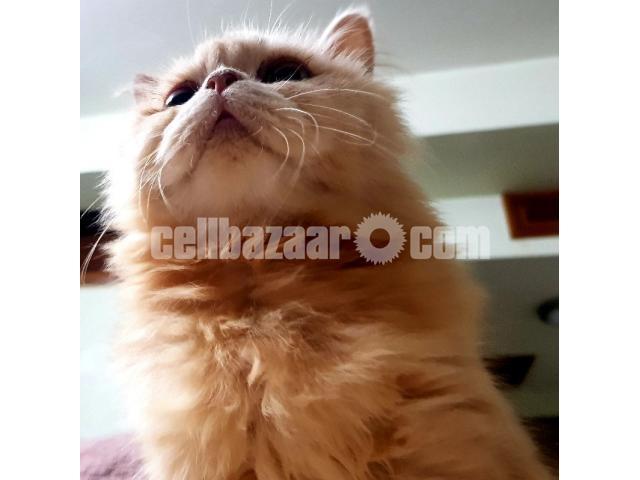 Persian Cat - 3/3