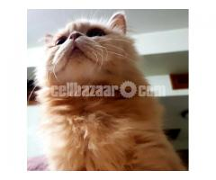 Persian Cat - Image 3/3