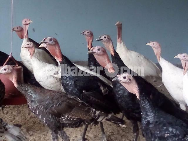 six month turkey sale. - 3/3