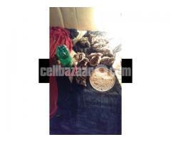 Fayoumi Chicks ফাউমি মুরগীর বাচ্ছা বিক্রয়