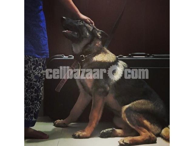 German Shepherd (5 months age) female - 1/1