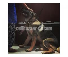 German Shepherd (5 months age) female