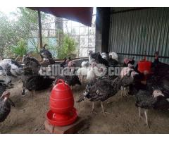 Turkey Farm - Image 5/5