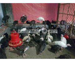 Turkey Farm (টার্কি খামার)
