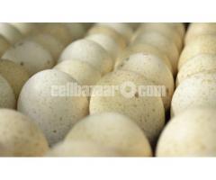 টার্কির উর্বর ডিম / Turkey Egg