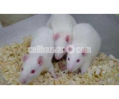 Rat - Image 2/5
