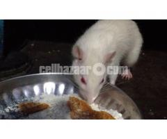 Rat - Image 3/5