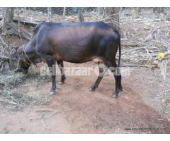 DESHI FEMALE COW FOR SALE