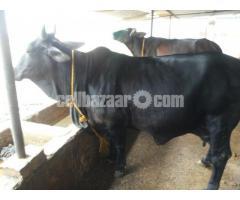 DESHI FEMALE COW FOR SALE