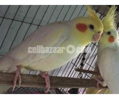 Cockatiels (Adult) 1 Pair