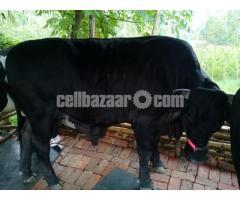 The big bull bulls