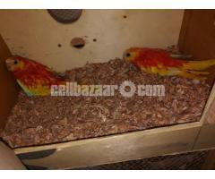 Turquoise bird pair
