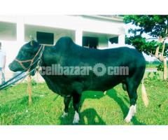 Deshi Shar Goru Black Color
