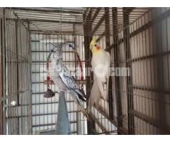 Cockatiel adult pair