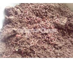 Vermi Compost ( Kecho Sar )