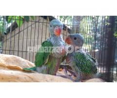টিয়া পাখি for sale