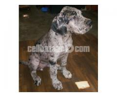 Dog (Great Dane female pup)