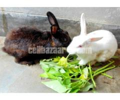 Rabbit (খরগোশ) Full Tame For Sale