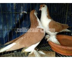 Yellow Lahore adult pair