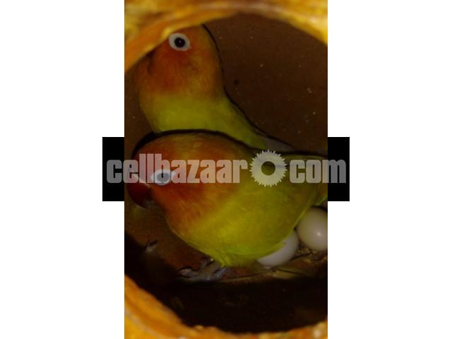 Yellow fischer lovebird - 1/5