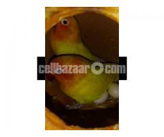 Yellow fischer lovebird