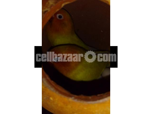 Yellow fischer lovebird - 4/5