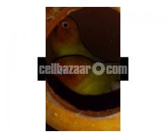 Yellow fischer lovebird - Image 4/5