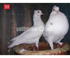 দেশী গোল্লা ডিম পারা ও বাচ্চা দেয়া কবুতর - Deshi Golla Pigeon - S3 & S4