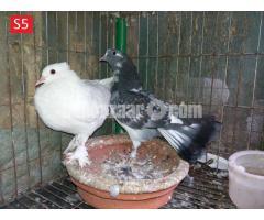 ফেন্সি কবুতর - Fency Pigeon - S5