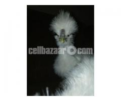 Silky chicken for sale