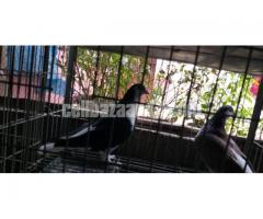 New Adult Lahore black siraji nor sale