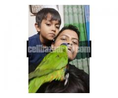 Parrot (Lorikeet)