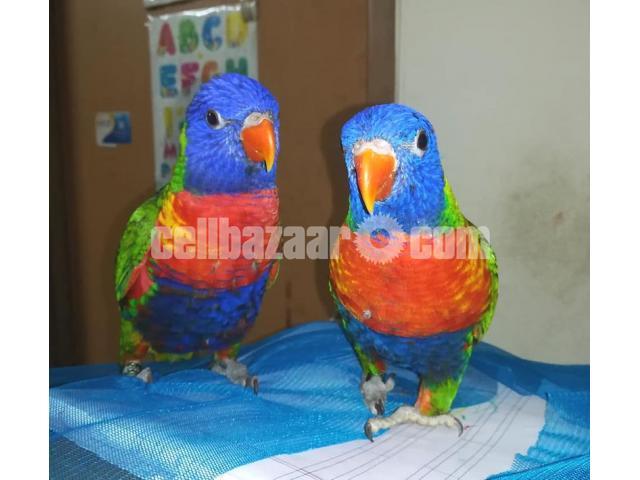Parrot (Lorikeet) - 3/4