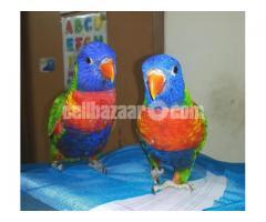 Parrot (Lorikeet) - Image 3/4