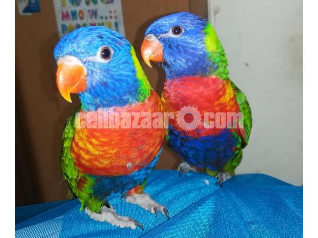 Parrot (Lorikeet) - 4/4