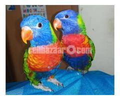 Parrot (Lorikeet) - Image 4/4