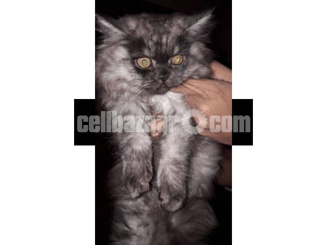 Pure Persian Female kitten - 1/4